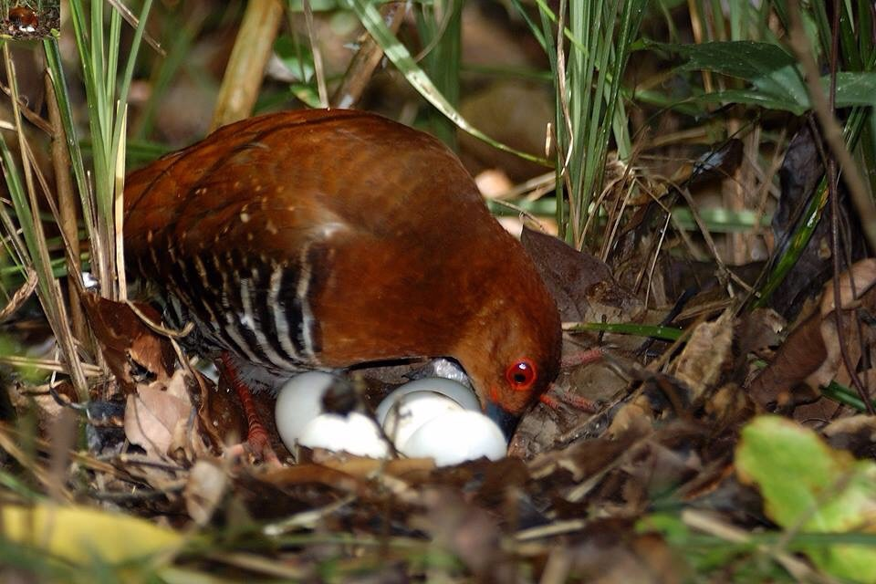 Figure 13. Red-legged Crake with a nest of eggs in Thailand.